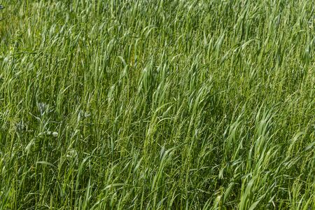 A Beautiful horizontal texture of green Creeping Wild Rye grass is in summer
