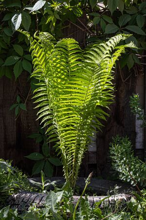 The Beautiful green leaves of fern grow in summer