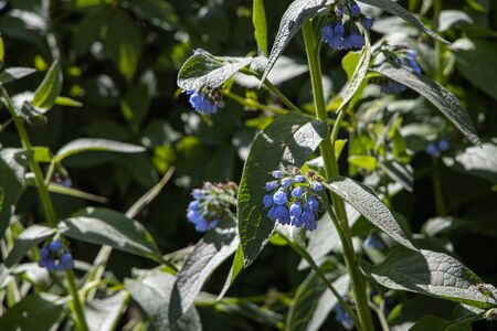 A Group of blue rough or prickly comfrey flowers grows on a green background of leaves and grass in a park in summer