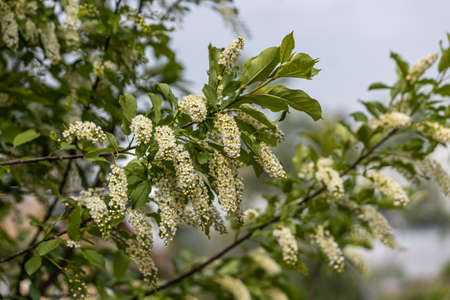White blooming of wild bird cherry tree with green leaves is in a park in spring