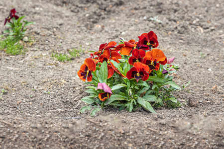 The Red and orange viola flowers with beautiful green leaves bloom in spring in the garden on a brown soil Reklamní fotografie