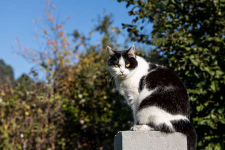 A Beautiful adult young black and white cat with big yellow eyes sits on the gray concrete block in a yard in summer
