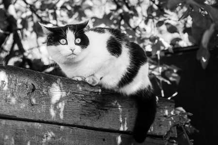 A Beautiful adult young black and white cat with big yellow eyes sits on a wooden bench in the garden in summer Archivio Fotografico