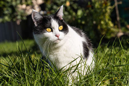 A Beautiful adult young black and white cat with big yellow eyes sits on the green background in a yard in summer