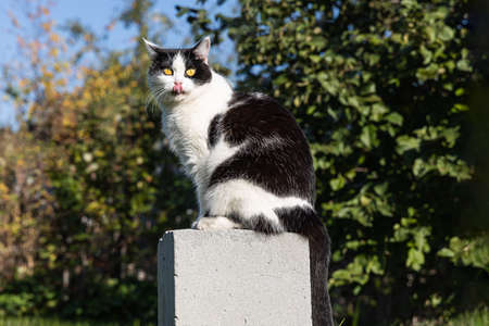 A Beautiful adult young black and white cat with big yellow eyes and a red tongue sits on the gray concrete block in summer Archivio Fotografico