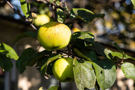 A branch of apple tree with sour red and yellow apple with green and yellow leaves is in a garden in autumn