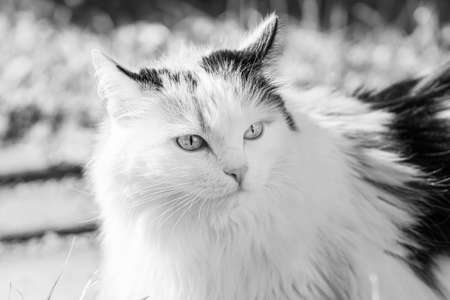 A Beautiful adult young black, white and red tricolor long haired cat with big bright eyes sits in a yard in summer