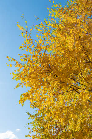 A Vertical photo of a group of white birch trees with yellow foliage is against the blue sky background in the forest in autumn Archivio Fotografico - 158529982