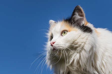 A Beautiful adult young black, white and red tricolor long haired cat with big yellow eyes sits on the blue sky background