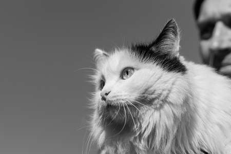A Beautiful adult young black and white long haired cat with big bright eyes and a man Archivio Fotografico