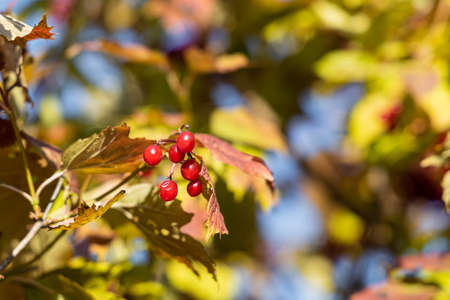 A bunch of bright ripe viburnum berries with green and red leaves is on a blue sky background in autumn