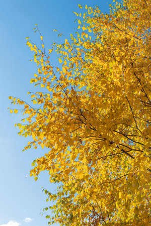 A Vertical photo of a group of white birch trees with yellow foliage is against the blue sky background in the forest in autumn