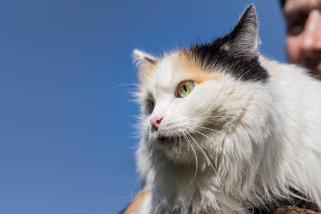 A Beautiful adult young black, white and red tricolor long haired cat with big yellow eyes and a man Archivio Fotografico