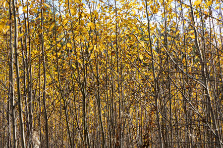 A Horizontal photo of a group of young aspen trees with yellow foliage is against the blurred background in the forest in autumn