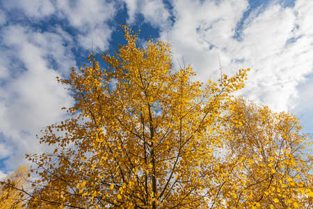 A Horizontal photo of a group of aspen trees with yellow foliage is against the blue sky background in the forest in autumn Archivio Fotografico - 158571749