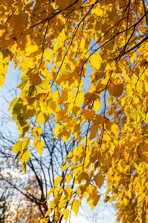 A Vertical photo of a group of white birch trees with yellow foliage is against the blue sky background in the forest in autumn Archivio Fotografico - 158571547