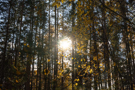 A Horizontal photo of a group of white birch trees with yellow foliage and pines is against the blue sky background in the forest in autumn