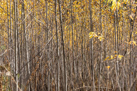 A Horizontal photo of a group of young aspen trees with yellow foliage is against the blurred background in the forest in autumn Archivio Fotografico - 158571857