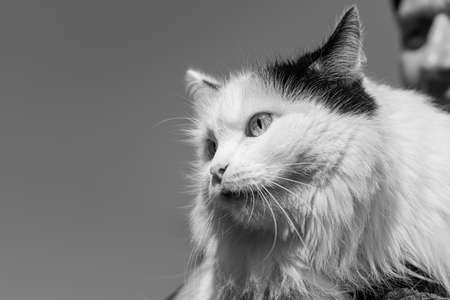 A Beautiful adult young black and white long haired cat with big bright eyes and a man Archivio Fotografico - 158633806