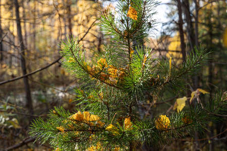 A Horizontal photo of a group of one small pine with yellow birch leaves is against the blue sky background in the forest in autumn Archivio Fotografico - 158633262
