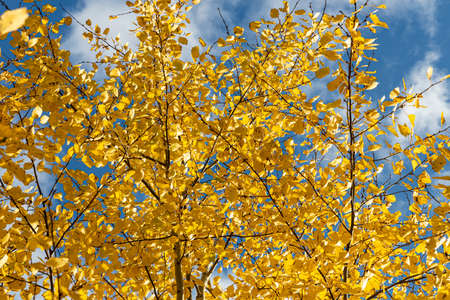 A Horizontal photo of a group of aspen trees with yellow foliage is against the blue sky background in the forest in autumn