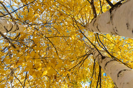 A Horizontal photo of a group of white birch trees with yellow foliage is against the blue sky background in the forest in autumn