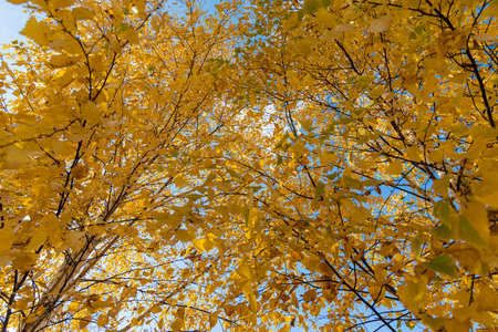 A Horizontal photo of a group of white birch trees with yellow foliage is against the blue sky background in the forest in autumn Archivio Fotografico - 158703848