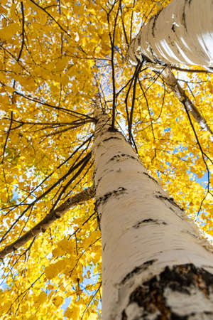 A Vertical photo of a group of white birch trees with yellow foliage is against the blue sky background in the forest in autumn Archivio Fotografico - 158703086