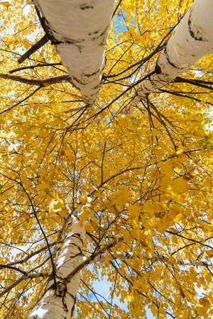 A Vertical photo of a group of white birch trees with yellow foliage is against the blue sky background in the forest in autumn Archivio Fotografico - 158705556