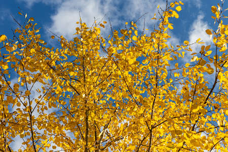 A Horizontal photo of a group of aspen trees with yellow foliage is against the blue sky background in the forest in autumn Archivio Fotografico - 158807522