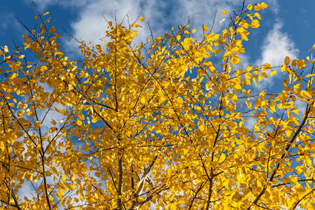 A Horizontal photo of a group of aspen trees with yellow foliage is against the blue sky background in the forest in autumn Archivio Fotografico - 158832198