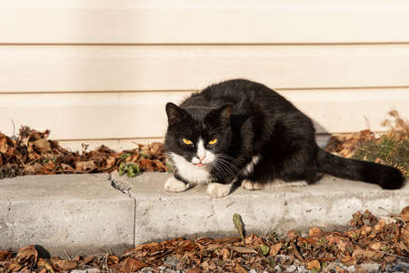 A Beautiful adult young black and white cat with big yellow eyes sits on a gray concrete block in the garden in fall