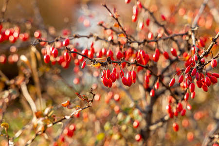 A bunches of a bright ripe red hawthorn berries without leaves are on a blurred background in a park in autumn Archivio Fotografico
