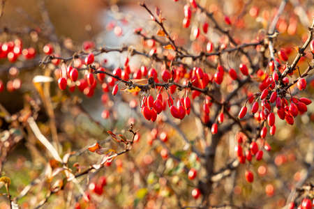 A bunches of a bright ripe red hawthorn berries without leaves are on a blurred background in a park in autumn Archivio Fotografico - 158805318