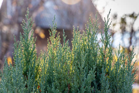 The Branch of juniper is on a blurred background for Christmas decoration