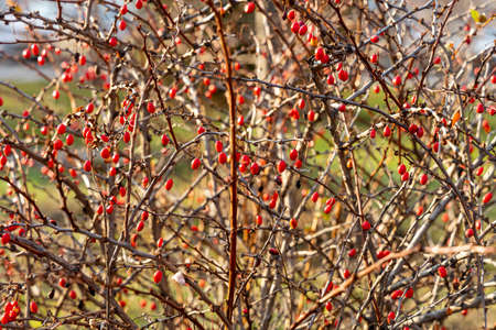 A bunches of a bright ripe red hawthorn berries without leaves are on a blurred background in a park in autumn Archivio Fotografico - 158886309