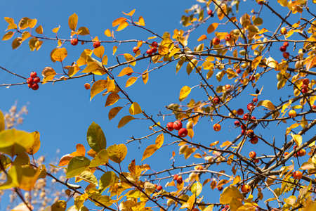 A Beautiful texture of branches of wild apple tree with bright yellow and red apples is on the blu sky background in autumn