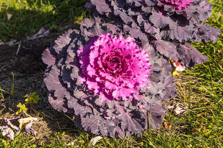 A Beautiful red curved leaves Brassica oleracea on the flower bed in a garden in autumn Archivio Fotografico