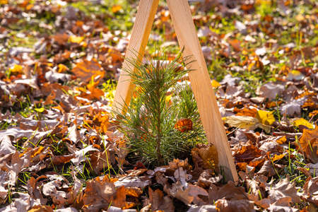 The small green pine-tree with yellow leaves pine and wooden sticks is on the green grass with yellow leaves in autumn. Archivio Fotografico - 159143643
