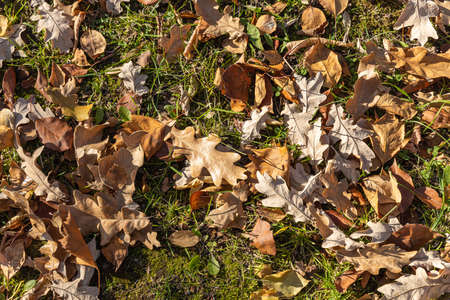 A beautiful texture of dry brown and yellow autumn oak leaves is in the park Archivio Fotografico - 159066924