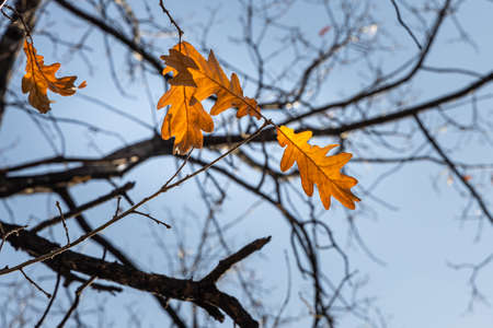The Group of bright yellow and orange carved oak leaves is on a blue sky background in a park in autumn