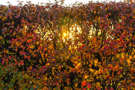 A Texture of cotoneaster branches with gold yellow red leaves and black berries with sun light on a beautiful blur background is in a park in autumn Archivio Fotografico