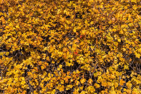A Texture of yellow Bunches of golden currant leaves is in a park in autumn Archivio Fotografico - 159193881