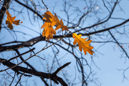 The Group of bright yellow and orange carved oak leaves is on a blue sky background in a park in autumn Archivio Fotografico - 159239138