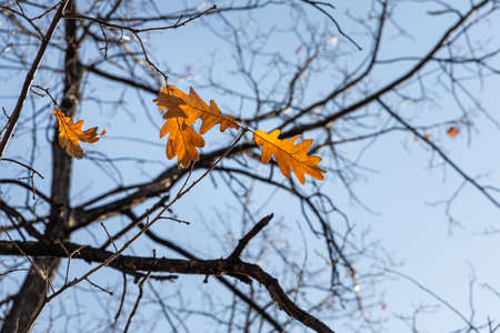 The Group of bright yellow and orange carved oak leaves is on a blue sky background in a park in autumn Archivio Fotografico - 159258847