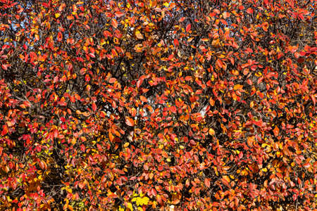 A texture of cotoneaster branches with gold yellow red leaves and black berries on a beautiful blur background is in a park in autumn