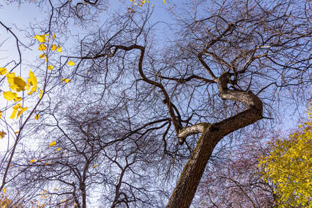 The Beautiful fantastic old gray and brown branchy tilted apple tree without leaves is in a park in autumn