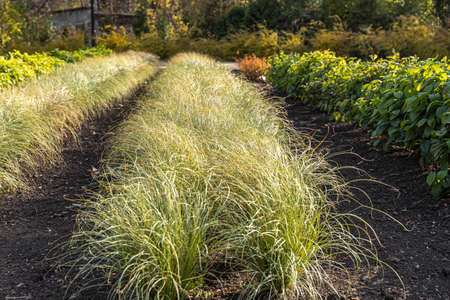 A Beautiful horizontal texture of green and yellow ornamental grass Carex is in a garden in autumn