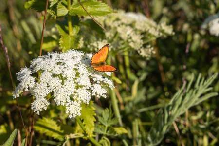 A Small bright orange butterfly pollinates white Cow Parsnip flowers in the fields in summer on a blurred green Archivio Fotografico