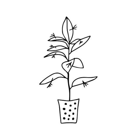 A Black outline hand drawing vector illustration of a decorative plant Ruscus in a pot isolated on a white background